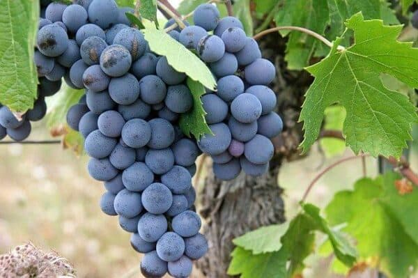 what not to feed a dog - grapes on a grapevine