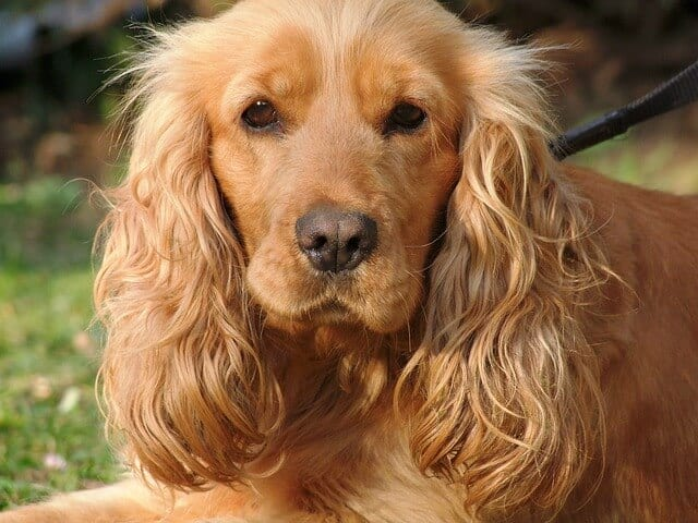how to calm a dog with anxiety - a cocker spaniel with long floppy ears