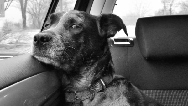 Black and white image of a dog on the back seat of a car and resting his chin on the edge of the door window.