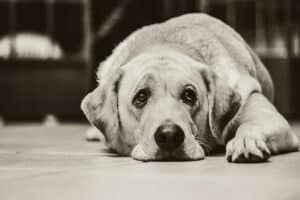 how to know if your dog is in pain - an image of a depressed dog
