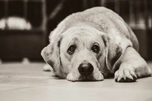 how to know if your dog is in pain - an image of a depressed dog lying on the floor.