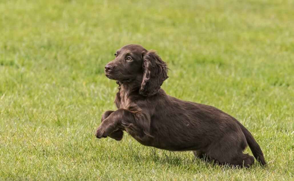 dog breeds prone to anxiety- an image of a beautiful cocker spaniel running on the grass