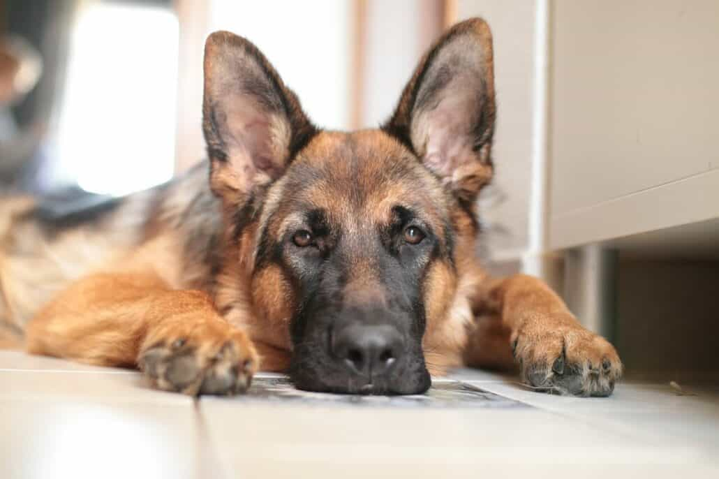 Dog breeds prone to anxiety