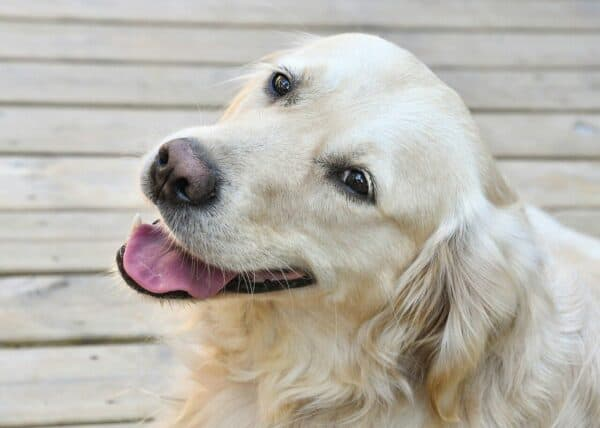 homeopathy and dogs - an image of a smiling English Golden Retriever