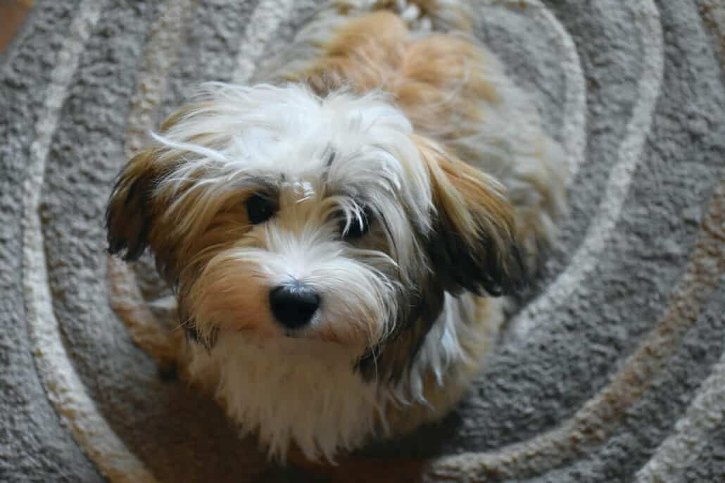 dog breeds prone to anxiety - an image of a cute havanese
