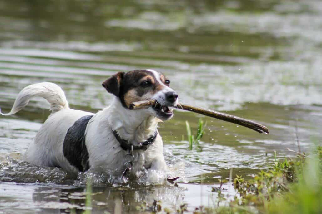 dog breeds prone to anxiety - an image of a jack russel terrier holding a stick in its mouth while walking on water
