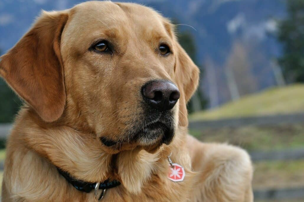 dogs prone to anxiety - an image of a mature Labrador Retriever