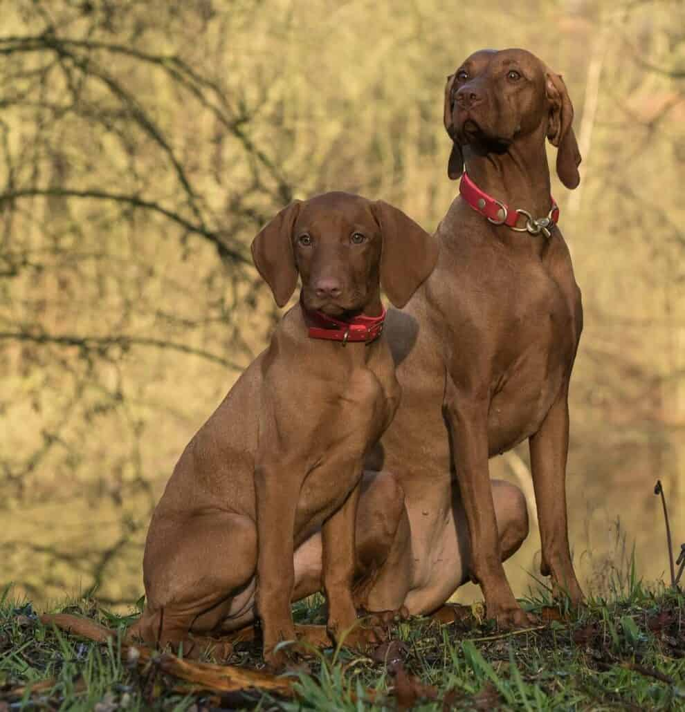 dog breeds prone to anxiety-an image of a pair of Vizla's on grass