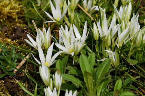 """poisonous to dogs - A group of """"Star of Bethlehem"""" plants with white spiky flowers."""
