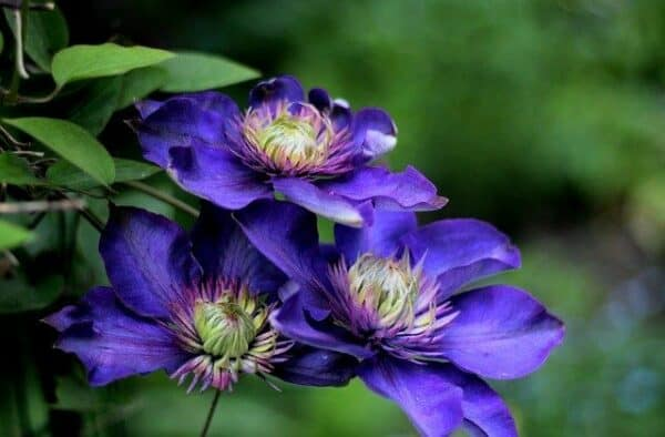 poisonous to dogs - a close up of the clematis plant and it's purple flowers.