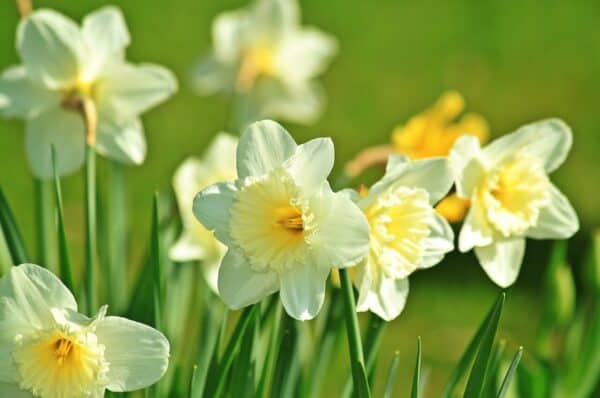 poisonous to dogs - Yellow daffodils in a field