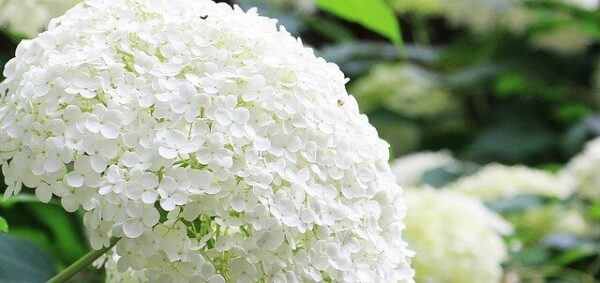 poisonous to dogs - an image of a large white hydrangea flower head.