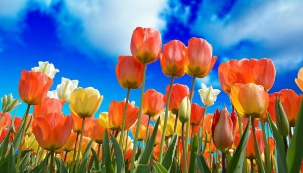 Red, orange and yellow tulips with an intensely blue sky as a backdrop