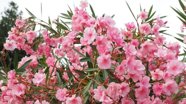 poisonous to dogs - Image of the Oleander plant with its pink flowers.