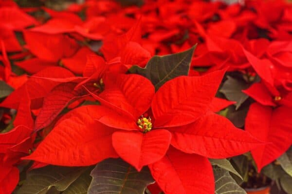 poisonous to dogs - a group of poinsettia plants with bright red flowers.