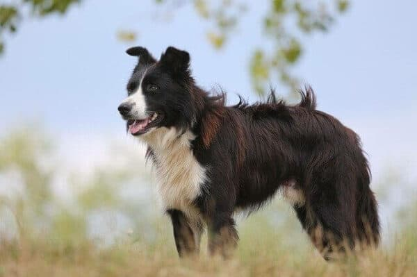 boarder collie ina field on a sunny day.