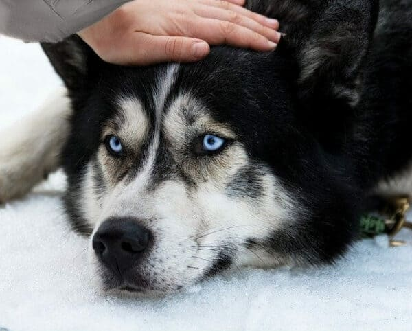 hand stroking a blue-eyed  dog as he is lying in the snow