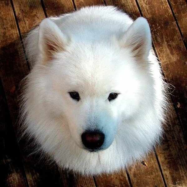 white fluffy dog sitting and looking up at camera