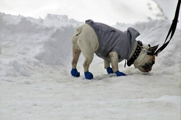bulldog wearing a  grey jacket sniffing in the snow.