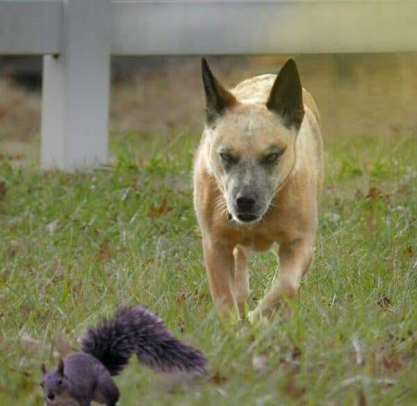 Are shock collars crue? - an aggressive looking dog chasing a squirrel