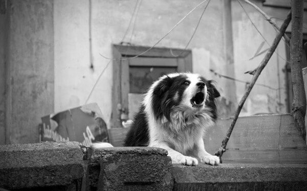 How to stop a neighbors dog from barking - an image of a dog barking in black and white