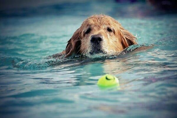 cbd for dogs with osteoarthritis - older dog swimming as a low impact exercise