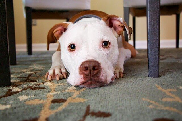 Hemp for dogs with Arthritis - a dog lying down on the carpet