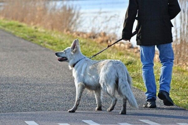cbd for dogs with osteoarthritis-a senior dog being walked by its owner