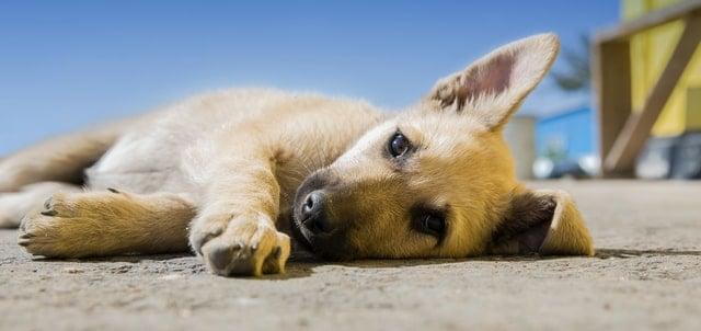 how to tell if my dog is in pain- an image of a dog lying on its side