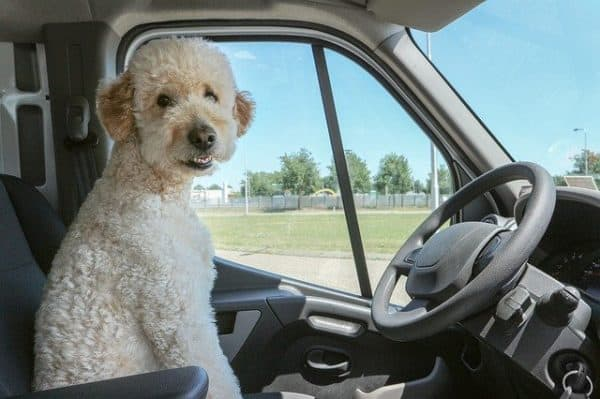 Large white poodle sitting in the front drivers seat of a car, and looking at the camera.