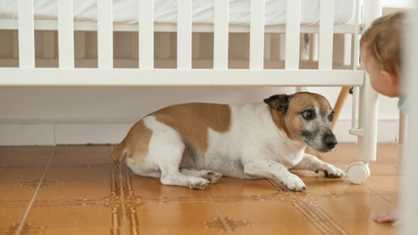 Dog hiding from a toddler under a cot, and looking stressed.