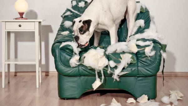 large white dog standing on a ripped up lounge chair. The chairs stuffing is hanging out and all over the floor.
