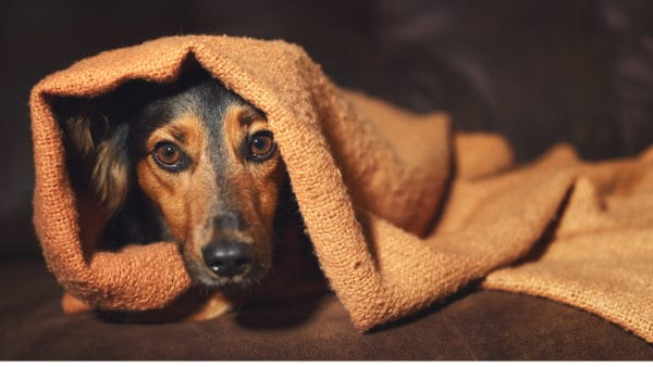 A sign of anxiety in dogs is illustrated in this image of a dog hiding under a blanket.
