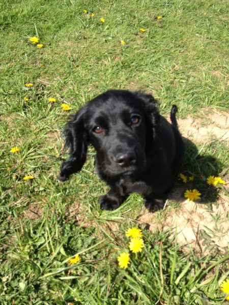 Sky, a black working cocker spaniel, sitting on the grass.