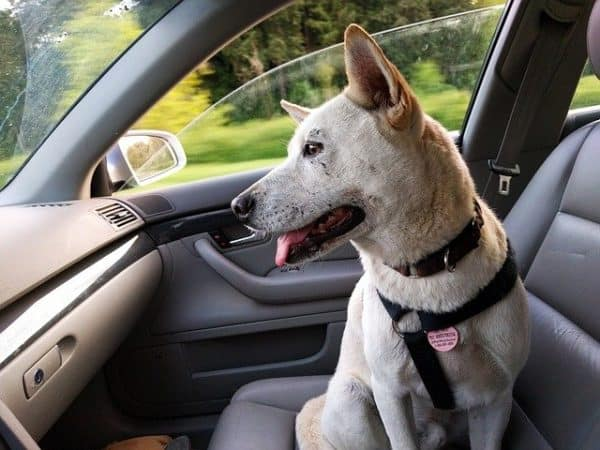 White short haired dog, sitting in the passenger seat of a car, looking out of the front windscreen.