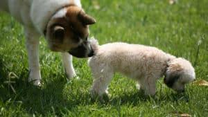 dog sniffing dog's bum