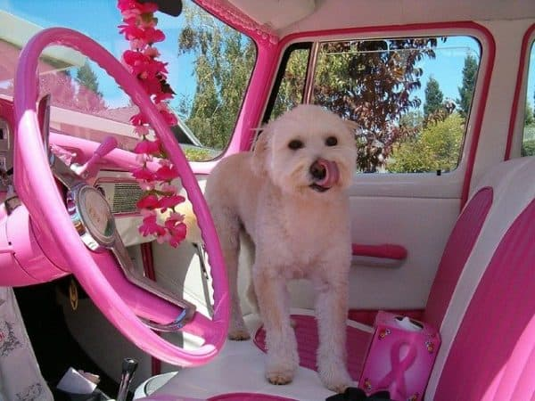 Small white dog, licking her nose, and standing on the passenger seat of a car with a very bright pink and white interior.