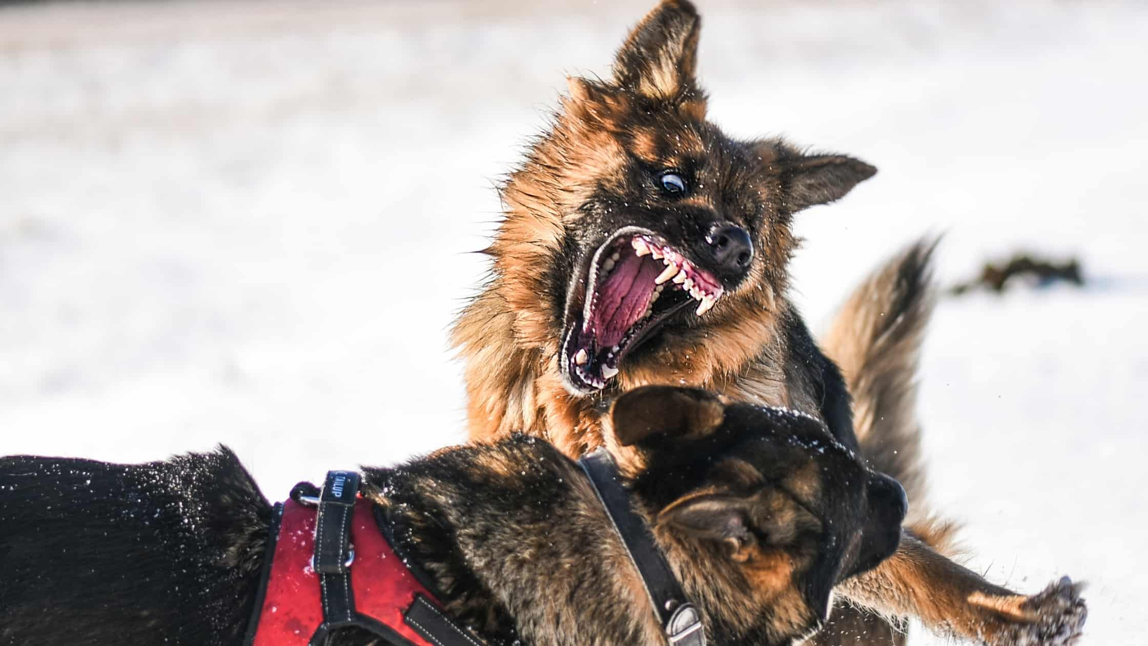 aggressive dog attacking another dog in the snow.