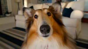 close up of a rough collie