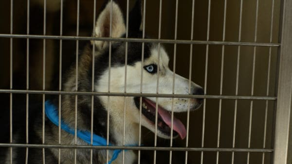 dog (husky) in a dog crate looking happy and relaxed, one of the benefits of CBD oil for dogs