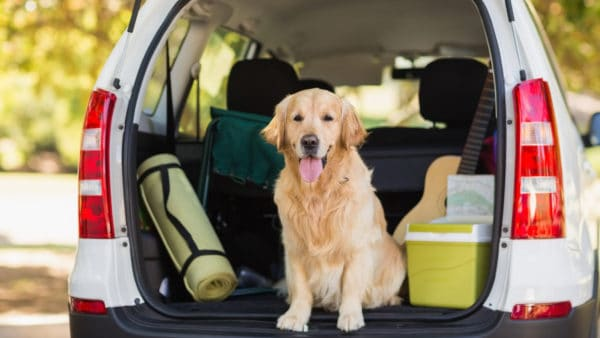 Retriever sitting in the trunk of a car, looking happy and relaxed, one of the benefits of CBD oil for dogs