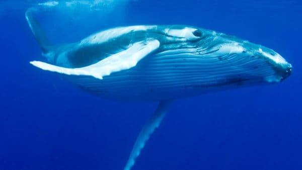 a Humpback whale swimming underwater in a deep blue sea
