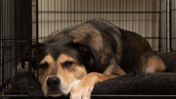 dog with anxiety feeling calm in a crate. The door is open.