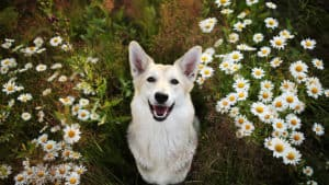 White dog sitting in front of a tree between chamomile plants