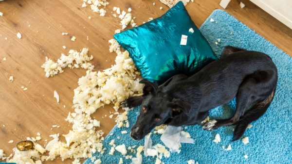 PICA IN DOGS - Dog eating cushions, stuffing all over the floor