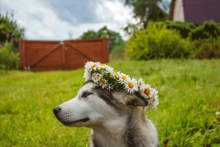 CHAMOMILE FOR DOGS - Dog wearing Chamomile flowers on his head