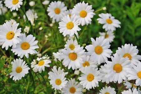 Chamomile plants flowering