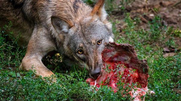 a wolf eating a carcass
