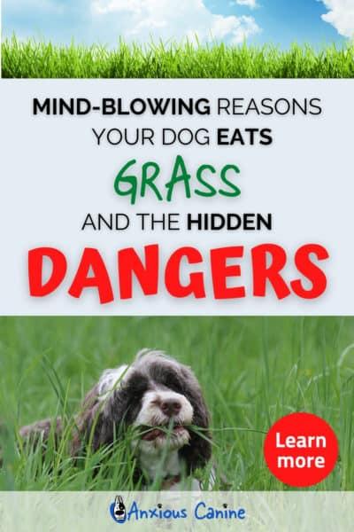 dog lying in long grass, and munching it.