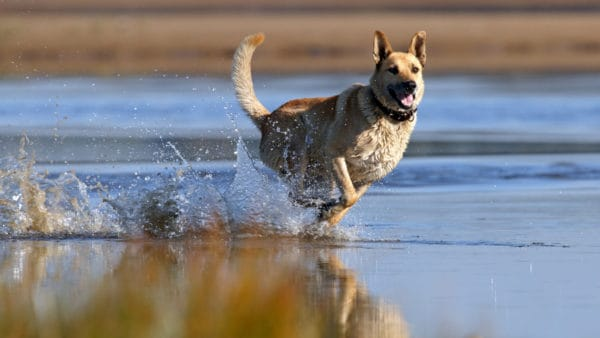 Healthy dog running on the beach and through the water.